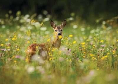deer_in_meadow_602983346